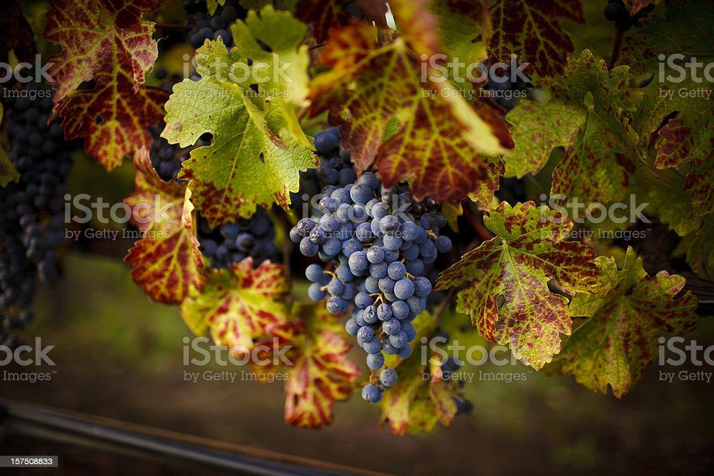 ripe cabernet grapes stock photo