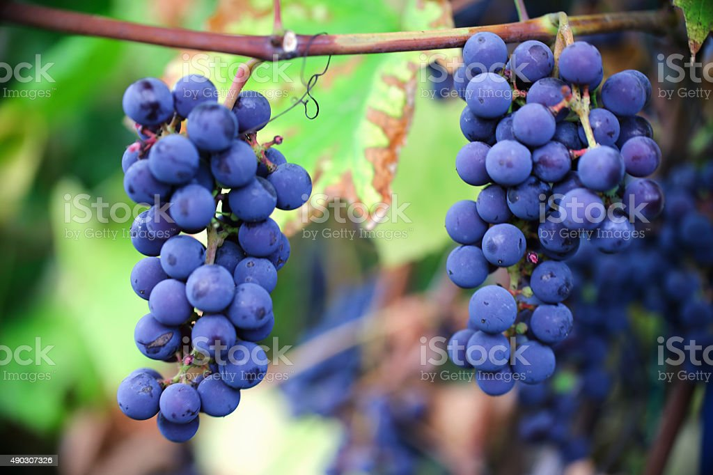 ripe cabernet grapes stock photo