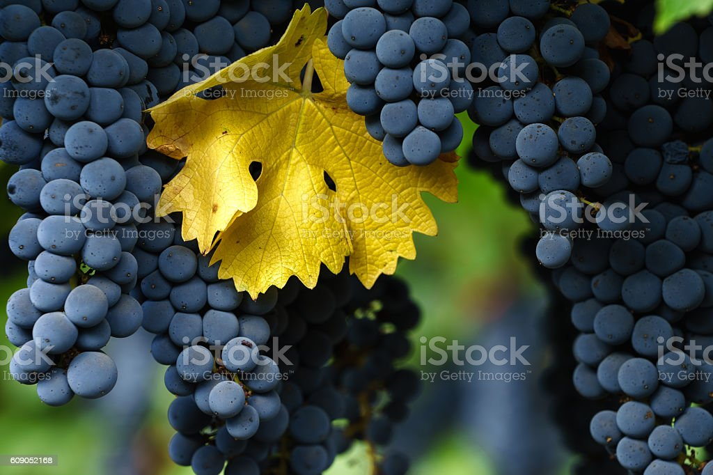 Ripe Cabernet Sauvignon grapes in Napa with single autumn leaf stock photo