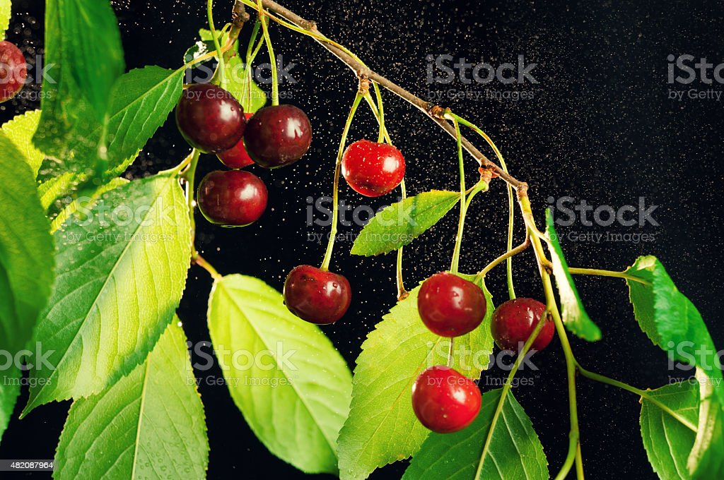 Ripe cherries on a branch. stock photo
