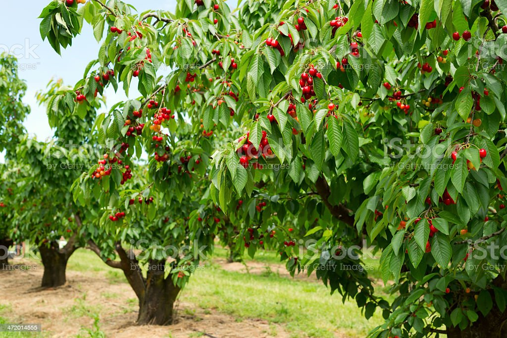 Ripe cherries on a tree stock photo
