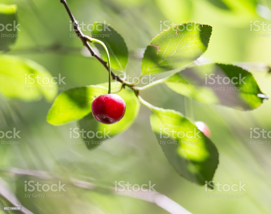 ripe cherries on the tree stock photo