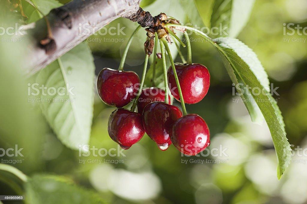 Ripe cherries royalty-free stock photo