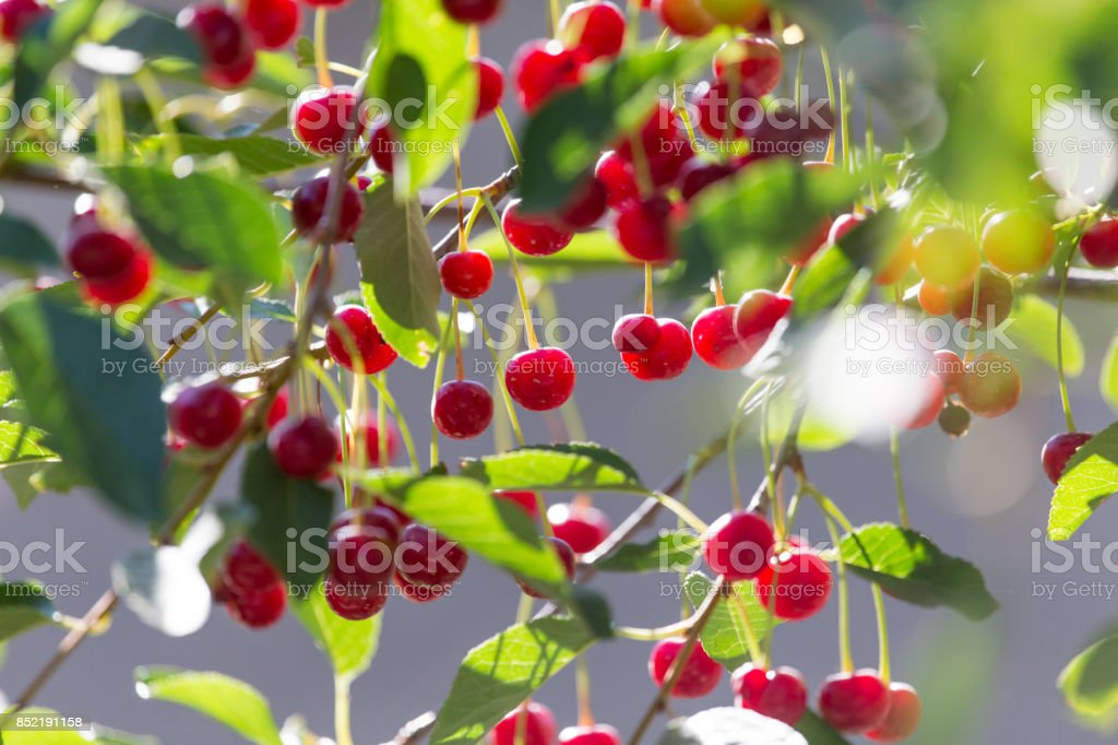 ripe cherry on the tree in nature stock photo