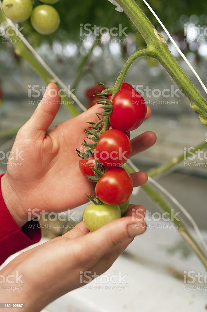 Ripe Cherry Tomatoes royalty-free stock photo