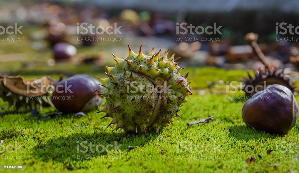 Ripe chestnuts in the Park stock photo