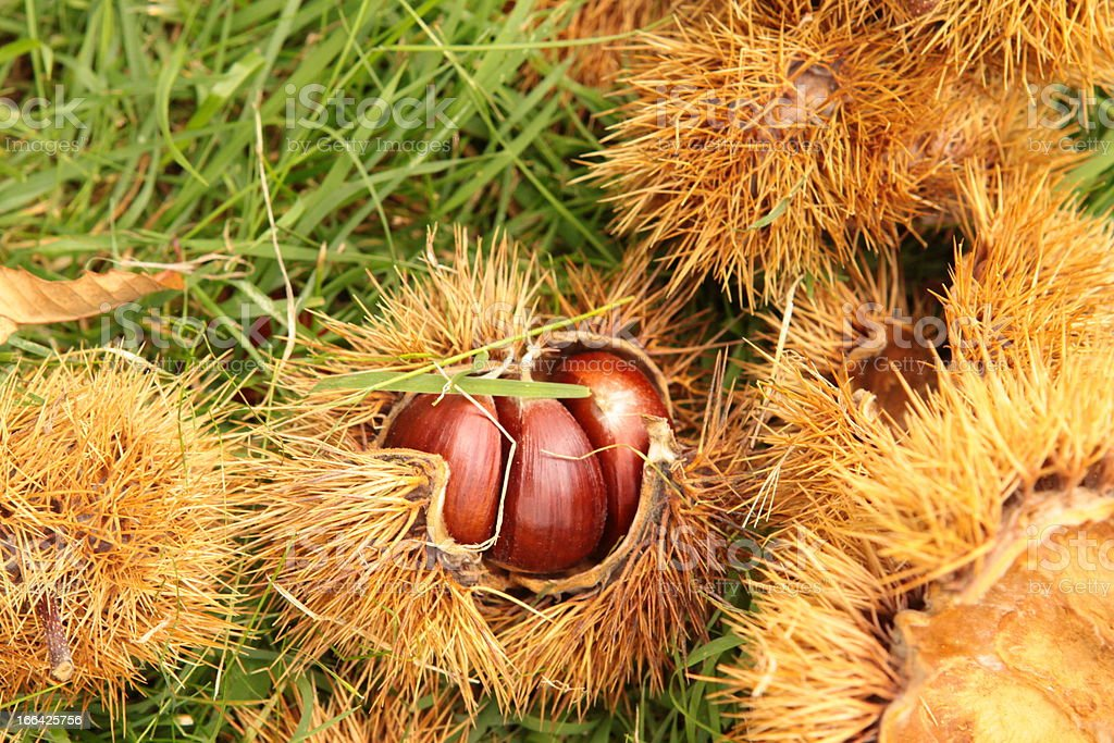 Ripe Chestnuts on the ground royalty-free stock photo