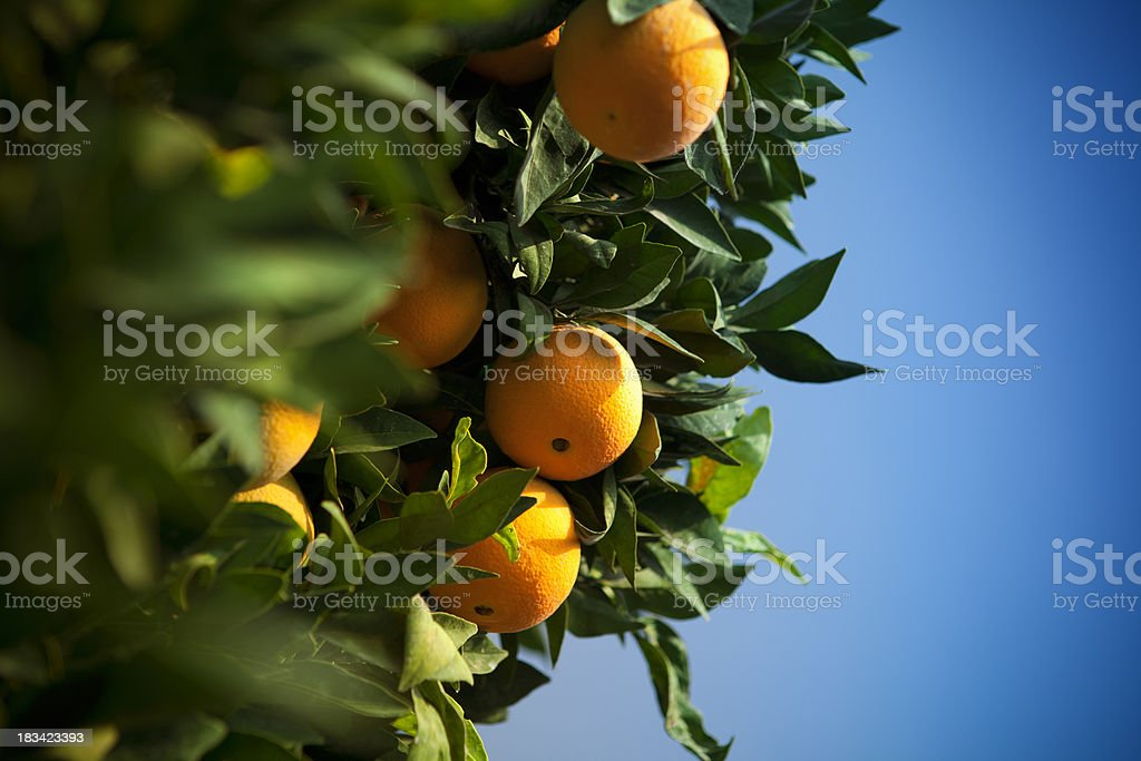 Ripe citrus grove royalty-free stock photo