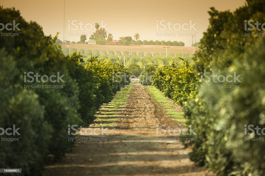 Ripe citrus grove stock photo