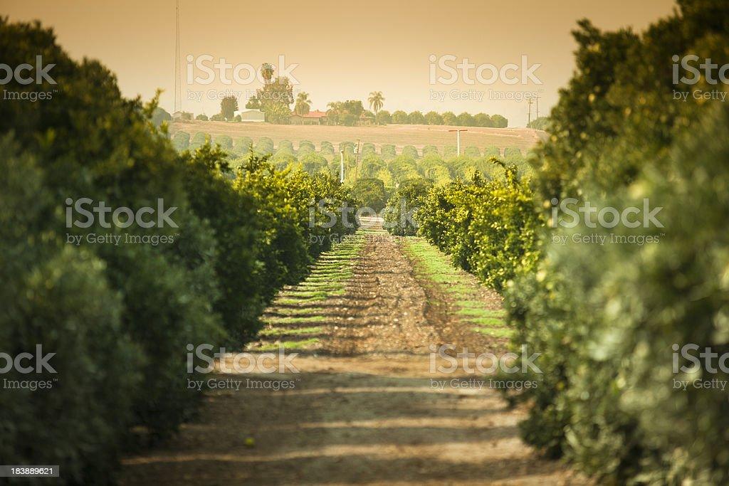 Ripe citrus grove stock photo