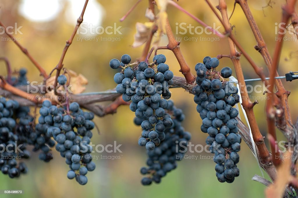 Ripe Clusters of Grapes on Vine stock photo