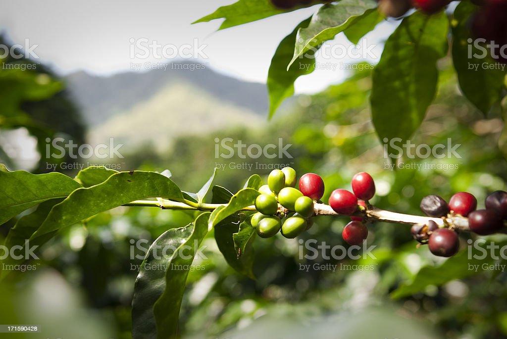 Ripe coffee beans (cherries) stock photo