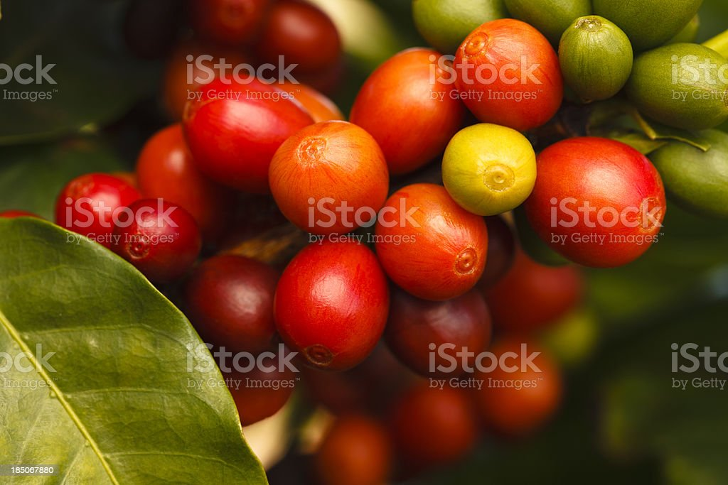 Ripe Coffee Cherries stock photo