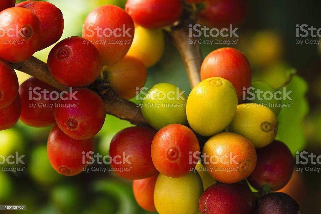 Ripe Coffee Cherries royalty-free stock photo