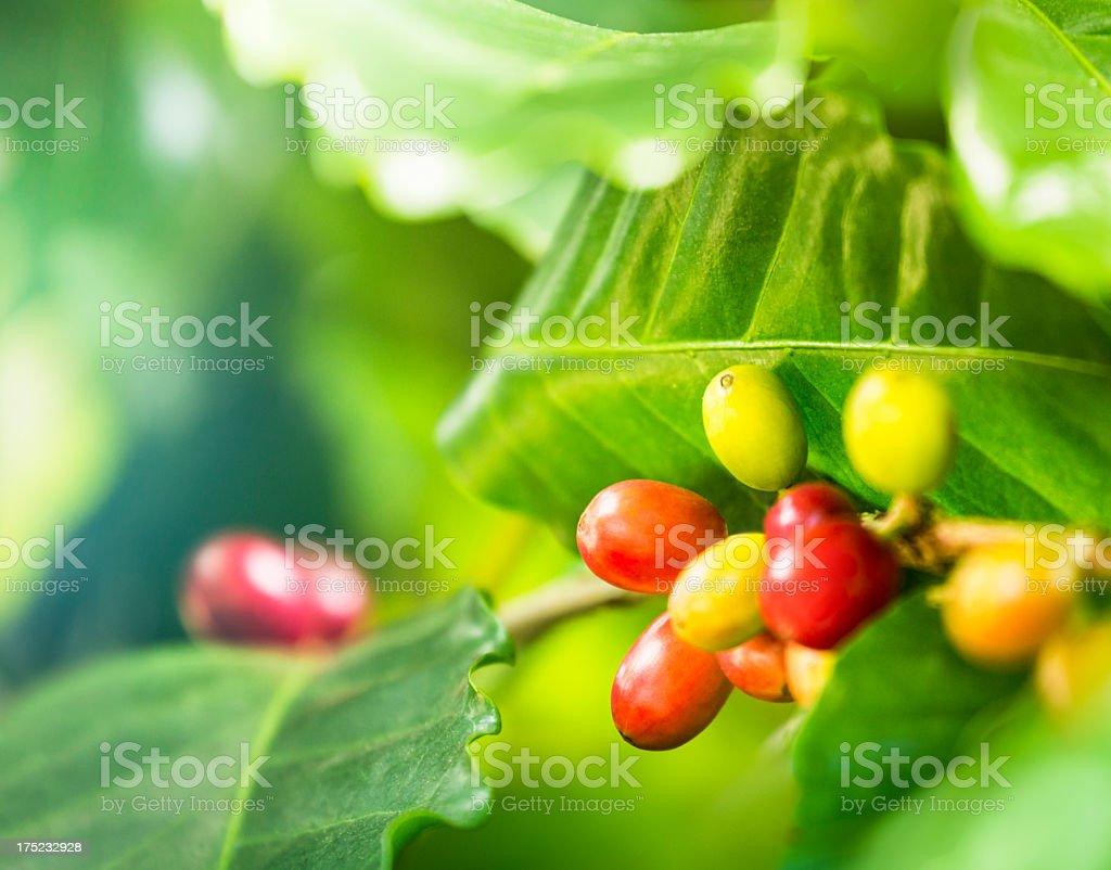Ripe coffee crop stock photo