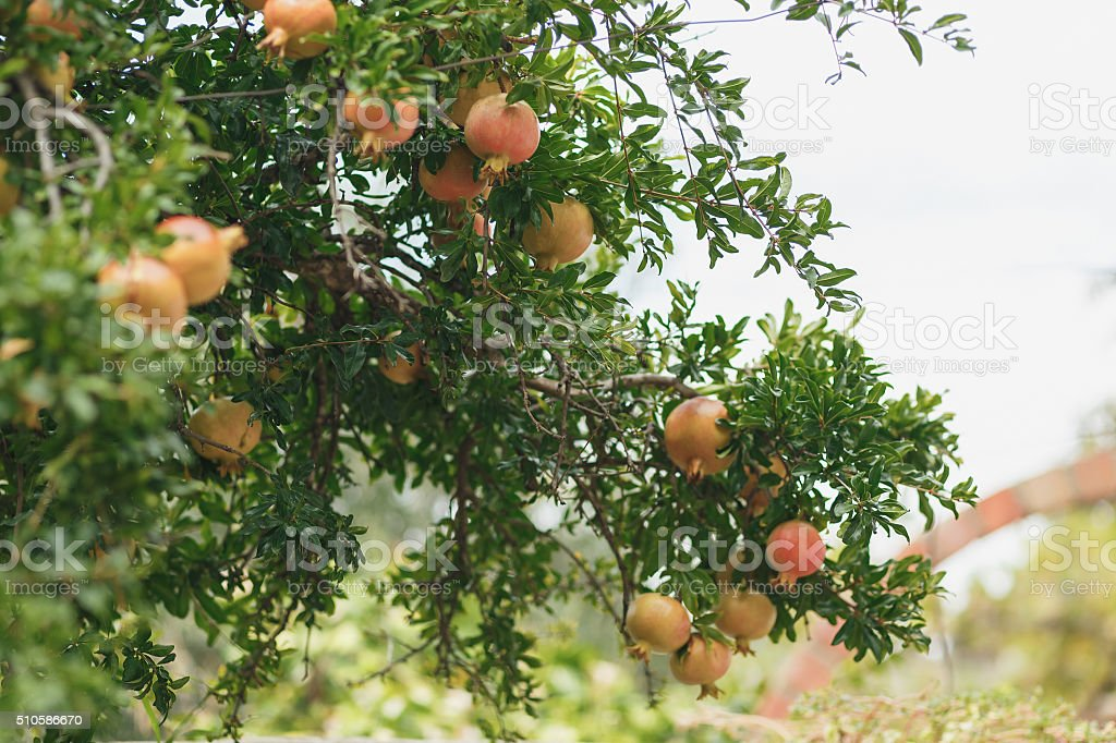 Ripe Colorful Pomegranate Fruit on Tree Branch. stock photo
