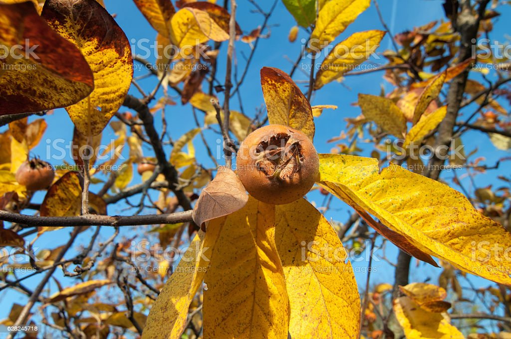 Ripe common medlar fruit stock photo