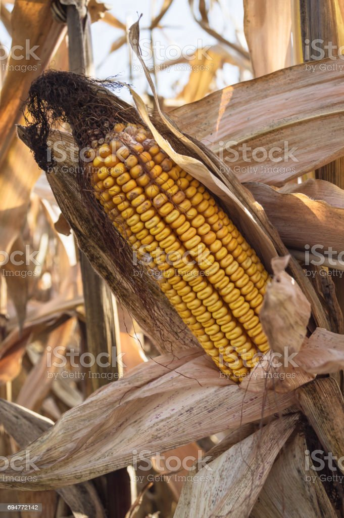 Ripe corn cob in cultivated agricultural corn field. stock photo