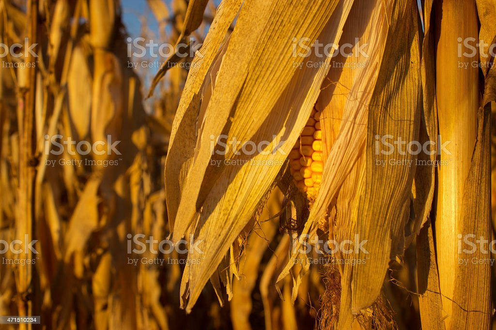 Ripe corn in field for harvest royalty-free stock photo
