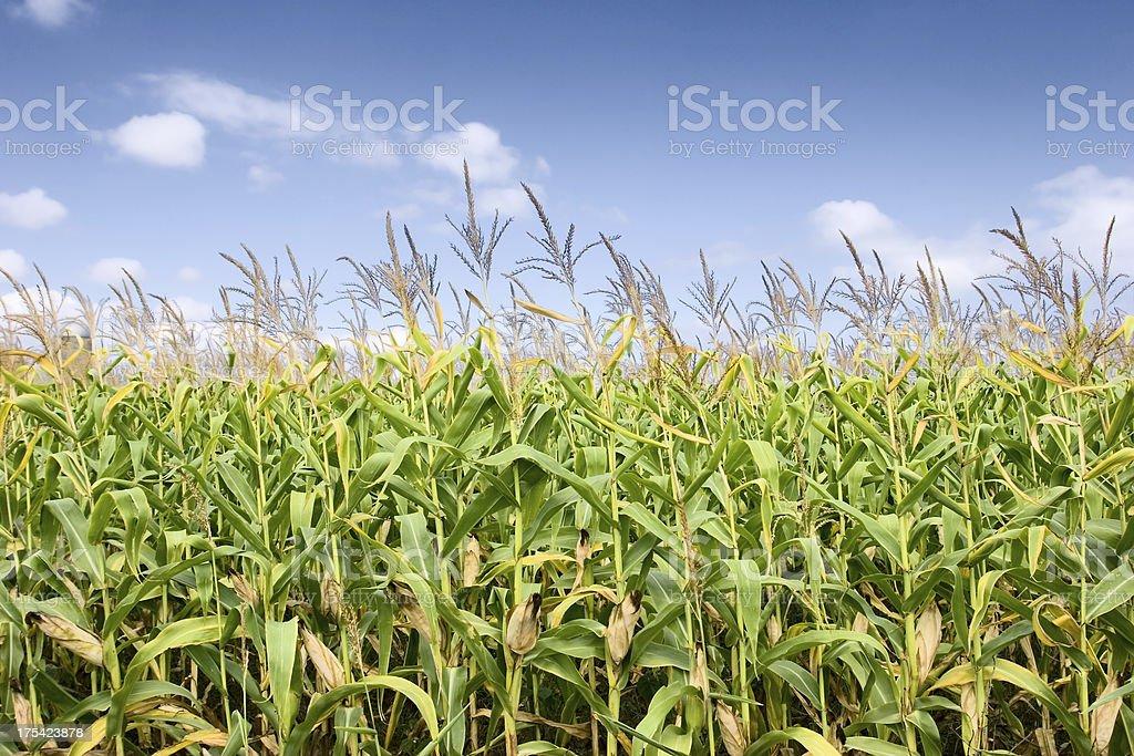 Ripe Corn royalty-free stock photo