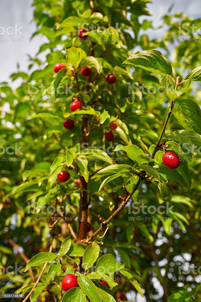Ripe cornelian cherry (Cornus mas) stock photo