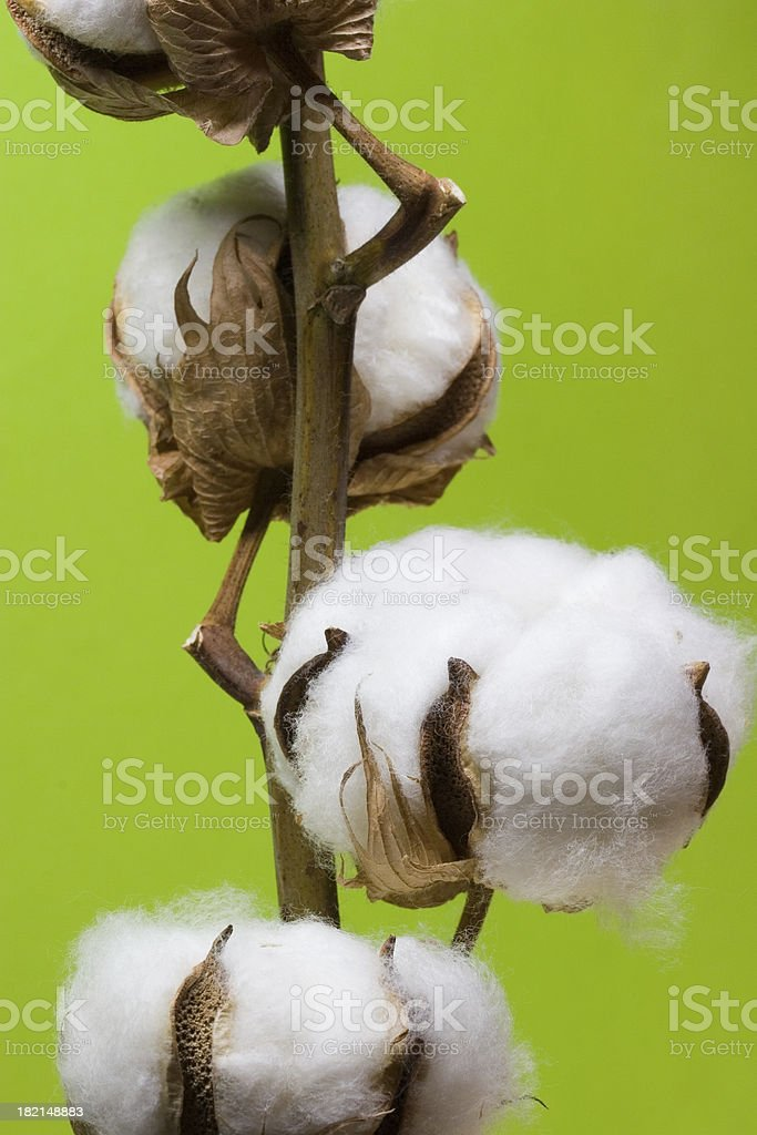 Ripe cotton Balls royalty-free stock photo