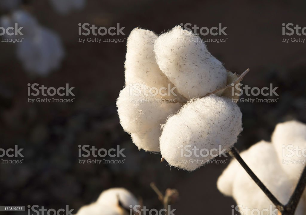 ripe cotton boll in field ready for harvest stock photo