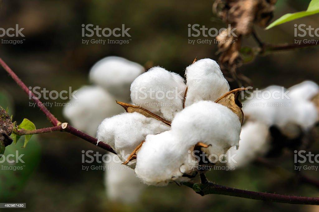 ripe cotton boll stock photo