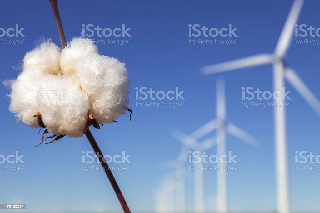 ripe cotton boll with wind turbines in background stock photo