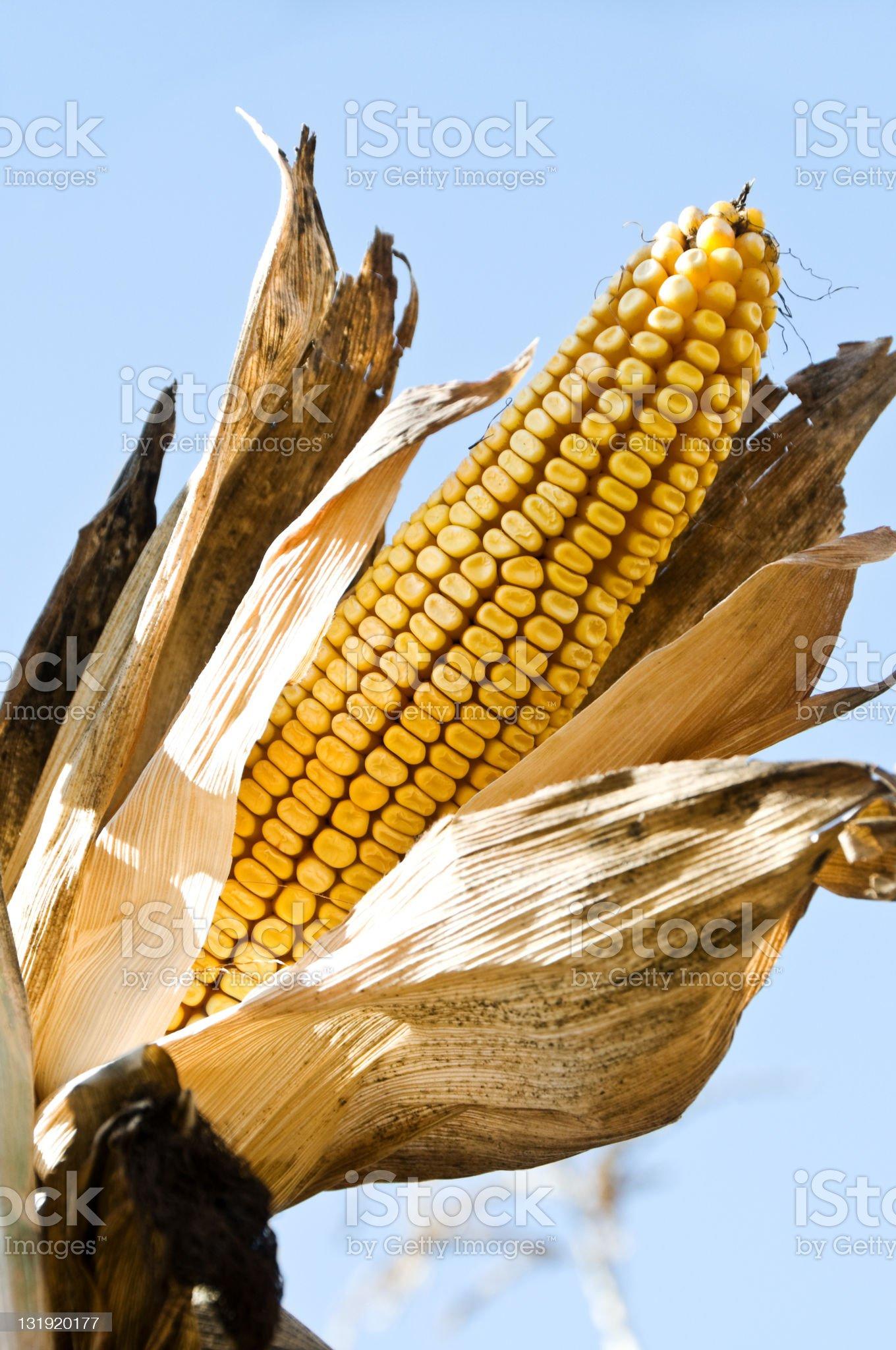 Ripe Ear of Yellow Corn in Husk royalty-free stock photo