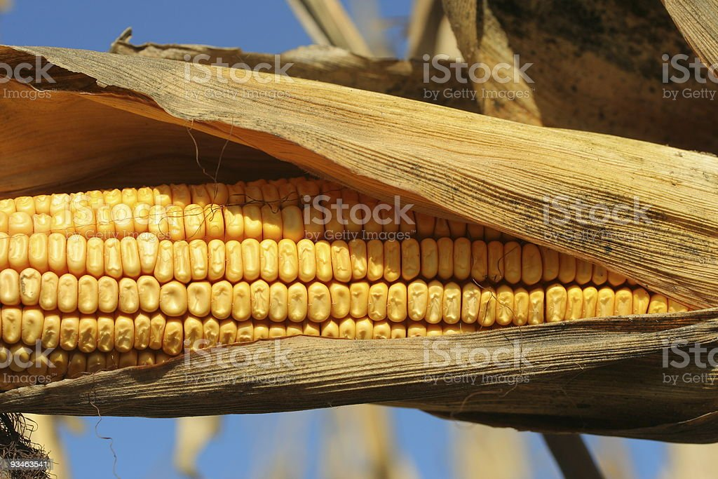 ripe ear of yellow corn in husk royalty-free stock photo
