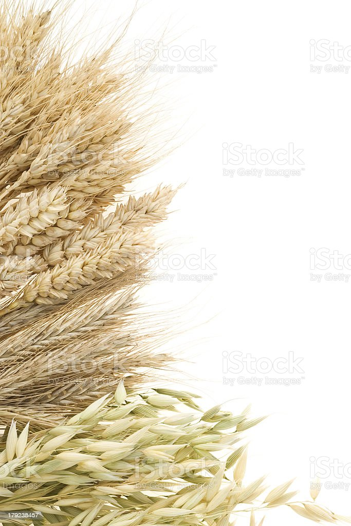 ripe ears of cereals isolated on white royalty-free stock photo