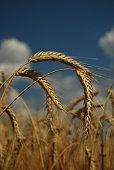 Ripe ears of wheat on the field