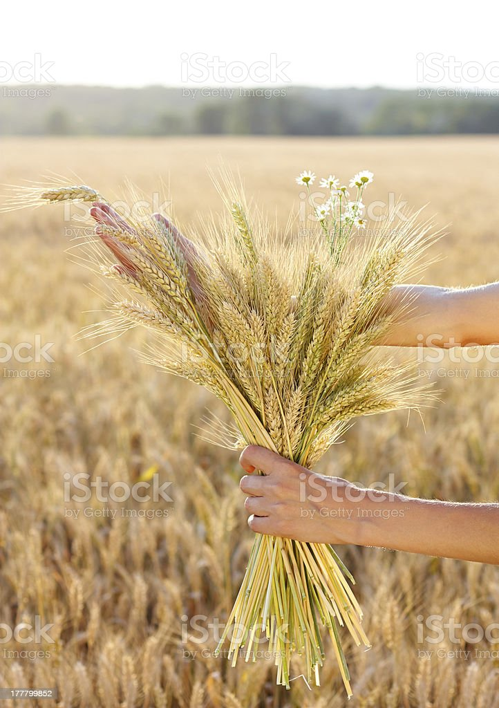 Ripe ears wheat in woman hands. Concept of abundance royalty-free stock photo