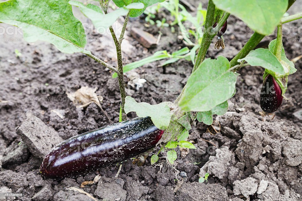 ripe eggplant on bed in garden stock photo