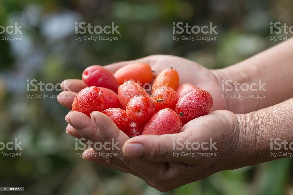 Ripe Elaeagnus latifolia fruits stock photo