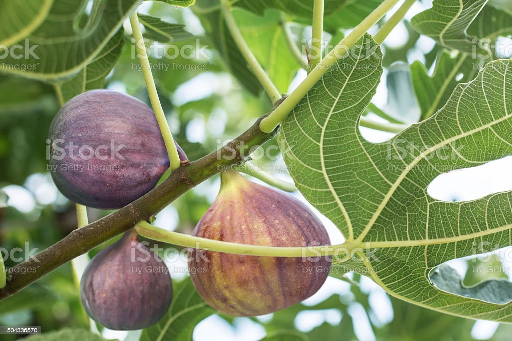 Ripe fig fruits on the tree. stock photo