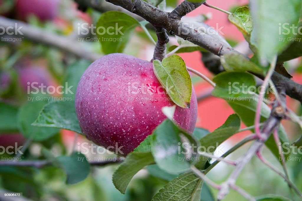 Ripe for the Picking stock photo