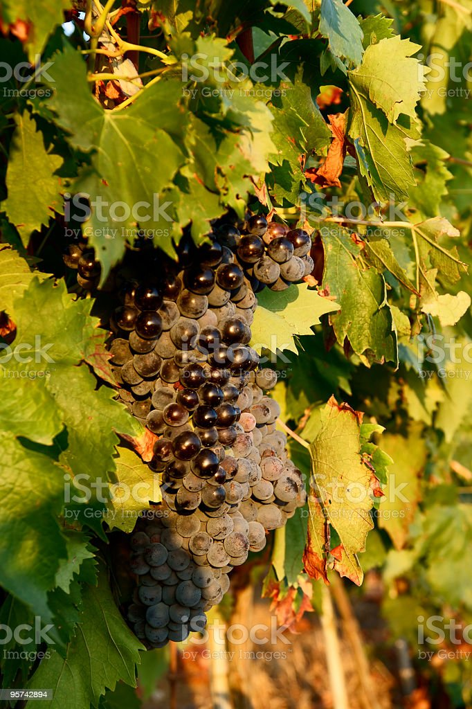 Ripe fresh grapes of Chianti royalty-free stock photo