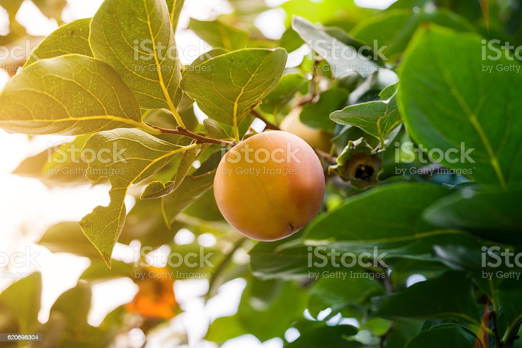 Ripe fresh persimmons on the tree stock photo