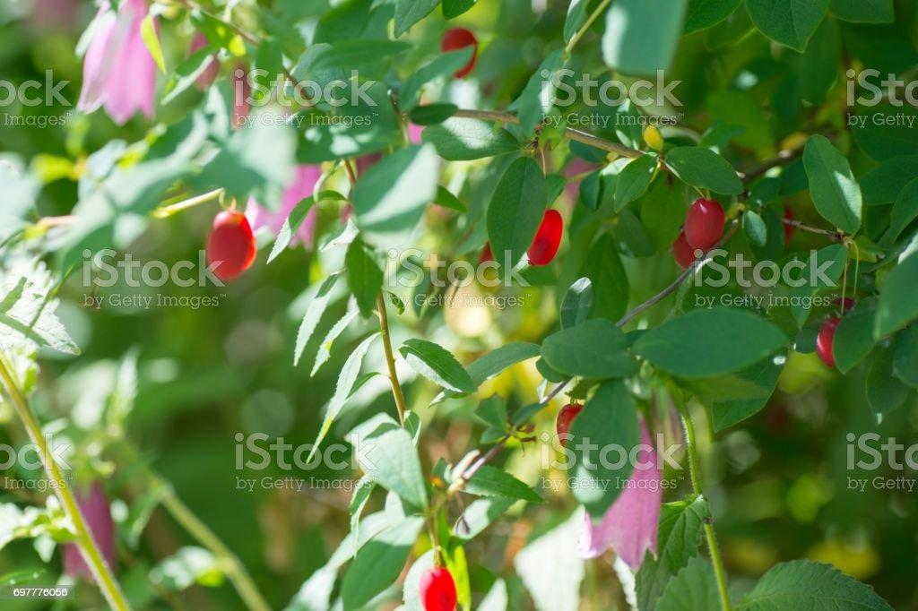 Ripe fruit of goumi (Elaeagnus) stock photo