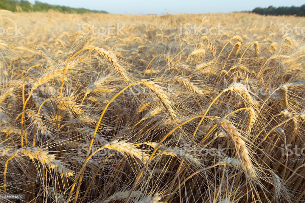 Ripe golden wheat ears in the field before harvest. stock photo