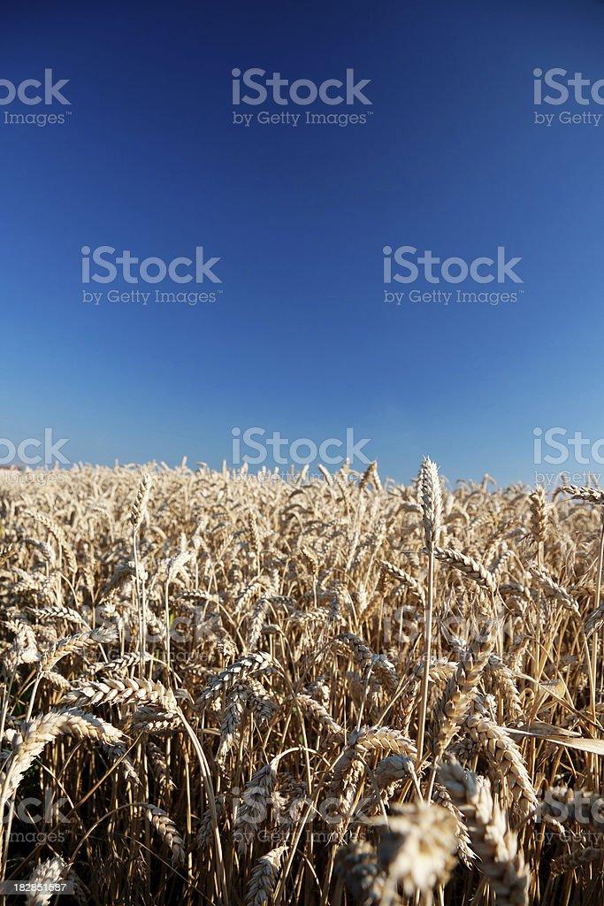 Ripe grain field royalty-free stock photo