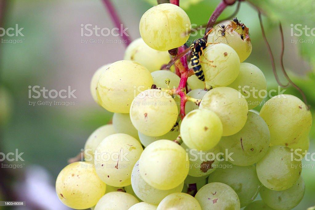 ripe grape royalty-free stock photo