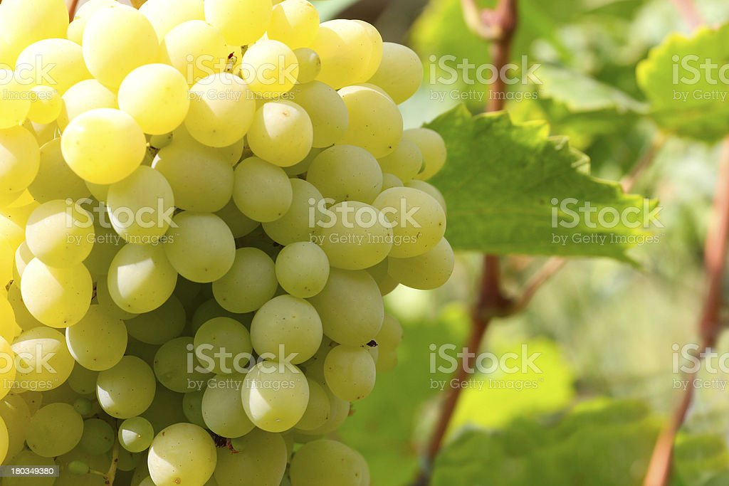 ripe grape royalty-free stock photo