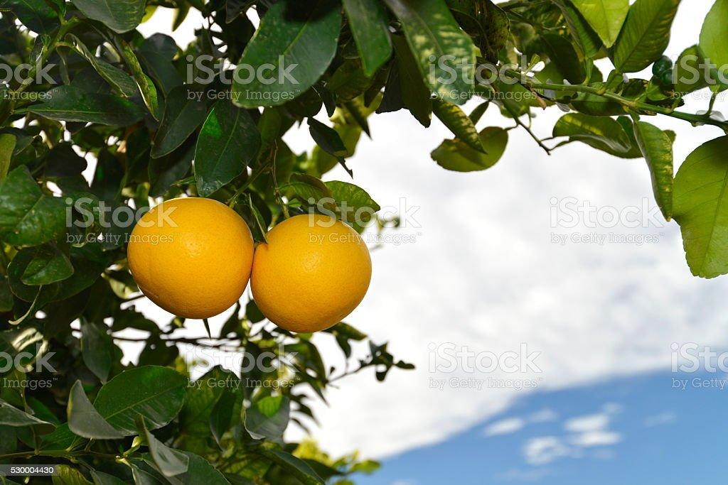 ripe grapefruits at tree stock photo
