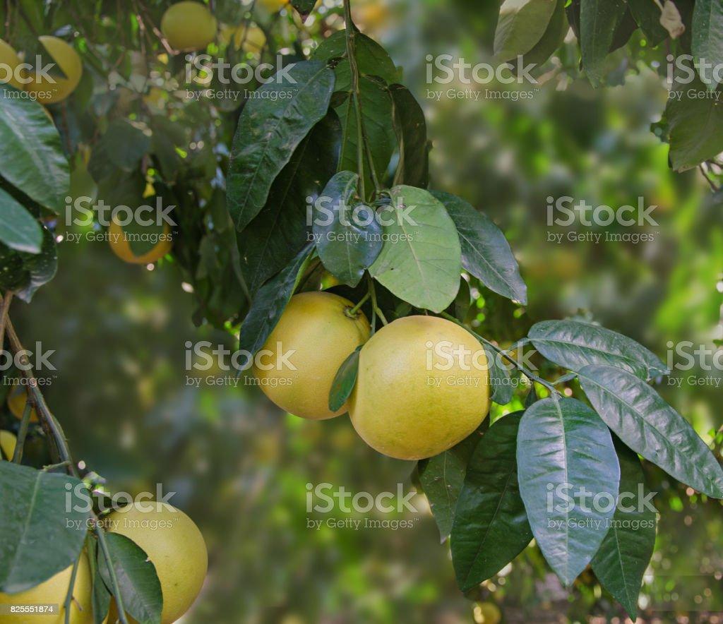 ripe grapefruits stock photo
