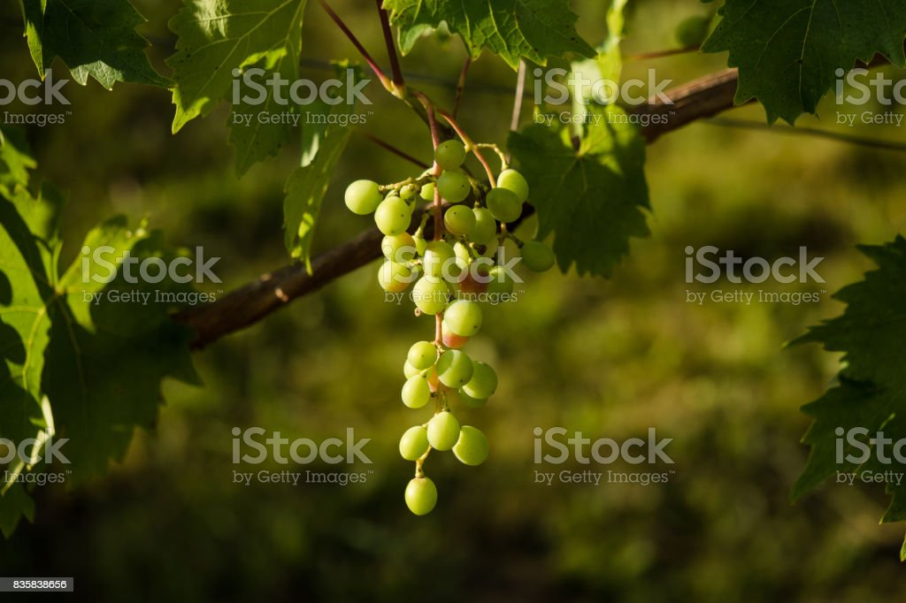 Ripe grapes hanging on the tree stock photo