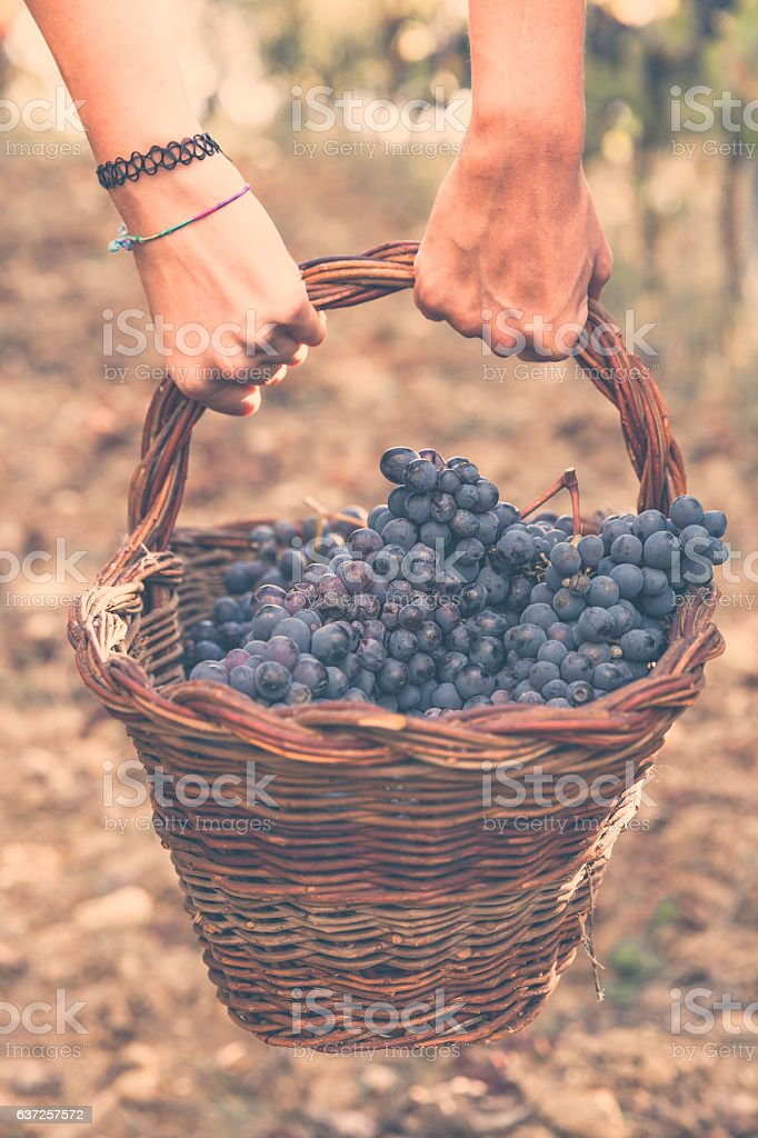 Ripe grapes in a basket. Vendemmia in Tuscany stock photo