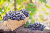Ripe grapes in basket after harvesting